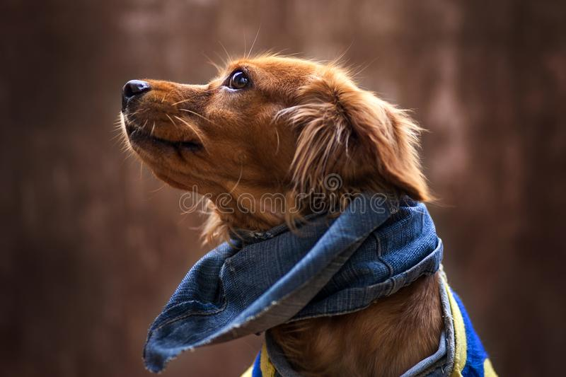 Portrait of golden puppy. Puppy with scarf jean. Dog. Pet. Dachshund. Dog food. Pet food. Dog lover. Pet loves. Dog training. Hound. Loyalty. Loyal. Dog racing stock photography