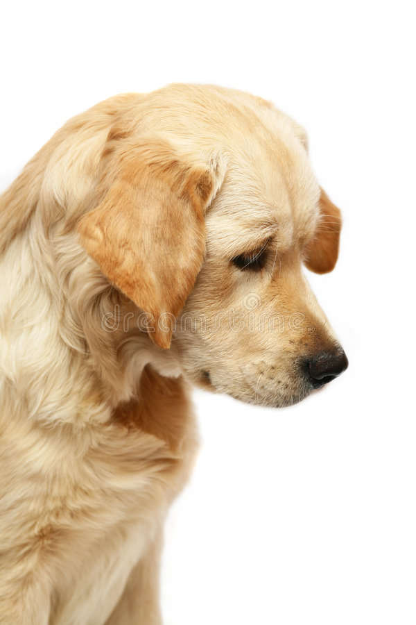 Portrait of the Golden Retriever royalty free stock images