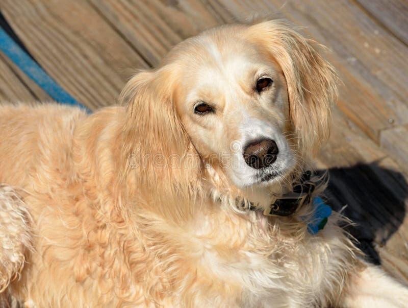 Portrait Of Golden Retriever Free Public Domain Cc0 Image