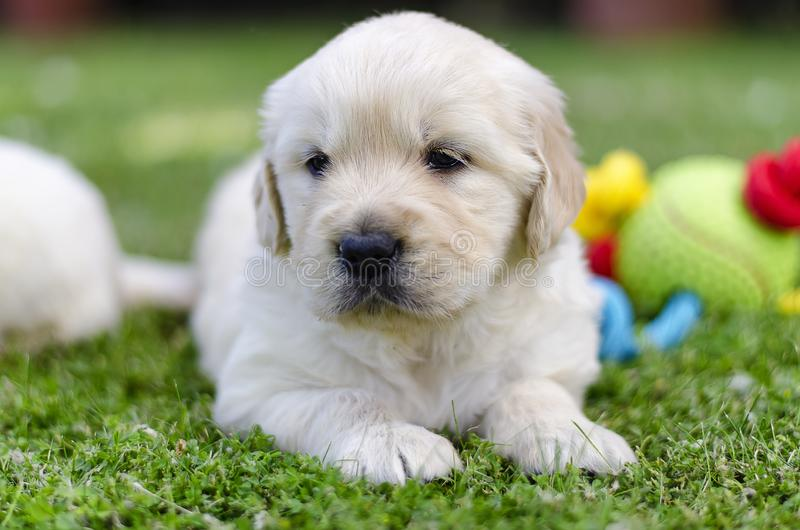 Portrait of a golden retriever two months puppy with a color toy on the grass stock photo
