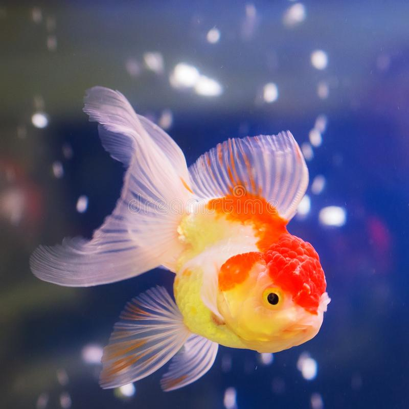 Portrait of a goldfish royalty free stock photography