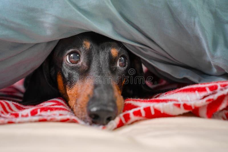 Portrait of good dog dachshund, black and tan, basking resting under a cozy blanket.  stock photo