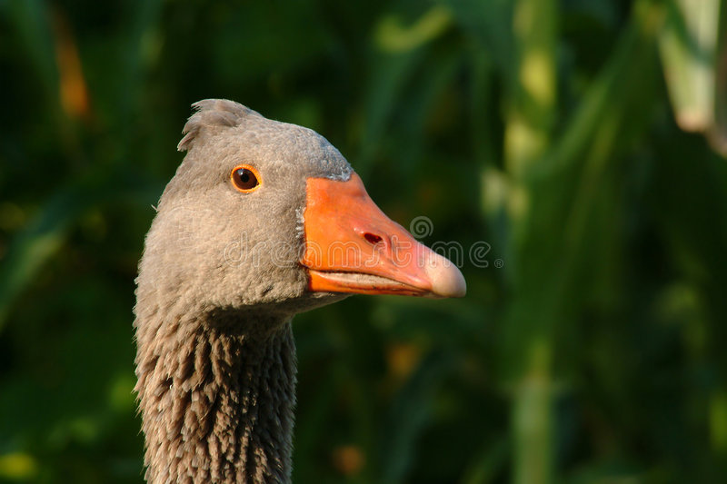 Download Portrait of goose stock photo. Image of nose, bird, wings - 638986