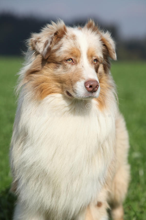 Portrait of gorgeous australian shepherd in nature stock image