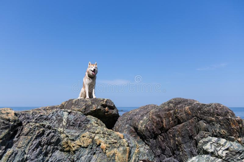 Portrait of gorgeous dog breed siberian husky on the beach. Image of free husky dog sitting on the rock at the seaside stock image