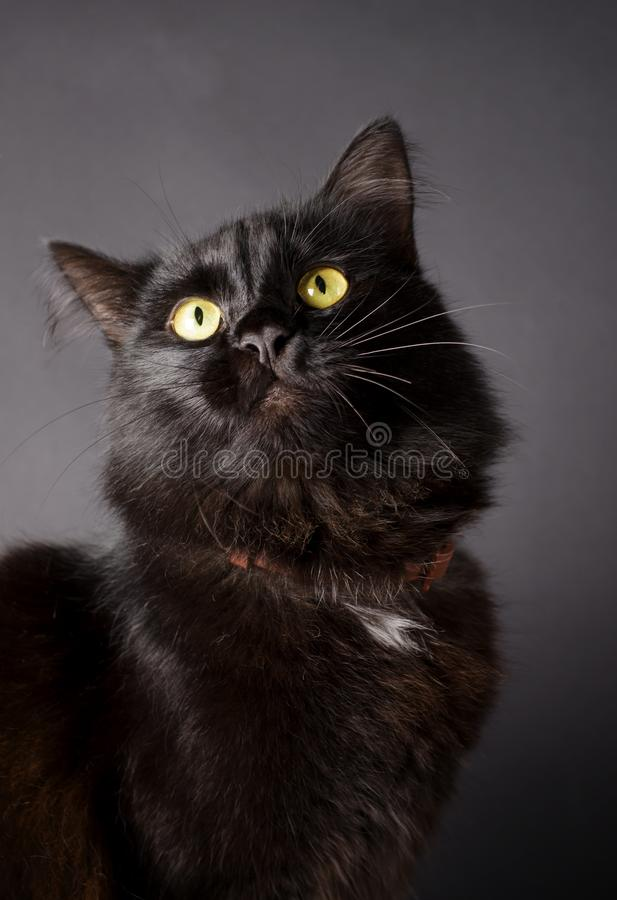 Portrait of a Gorgeous fluffy black cat with bright yellow eyes. royalty free stock image