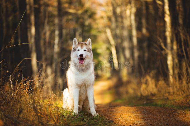 Portrait of gorgeous, happy, free and prideful Beige and white dog breed Siberian Husky sitting in the bright autumn forest at. Golden sunset stock photography