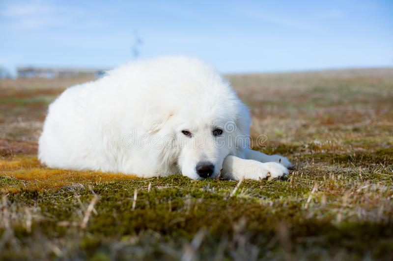 Portrait of gorgeous maremma sheepdog. Close-up of Big white fluffy dog lying on moss in the field on a sunny day stock images