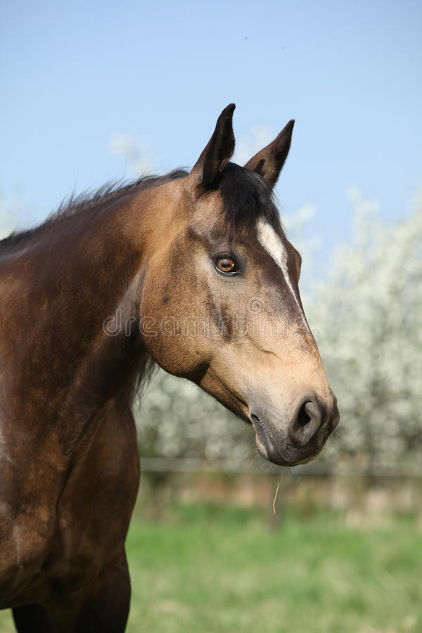 Portrait of gorgeous quarter horse with snake eye royalty free stock photos