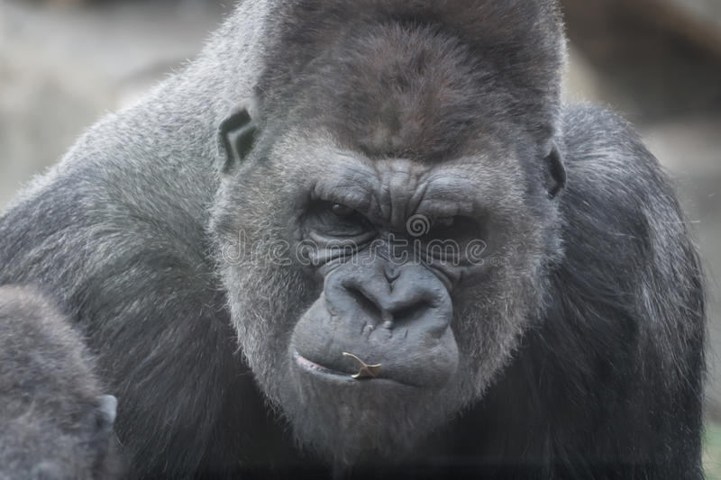 Download Portrait of gorilla stock photo. Image of angry, reserve - 38142780