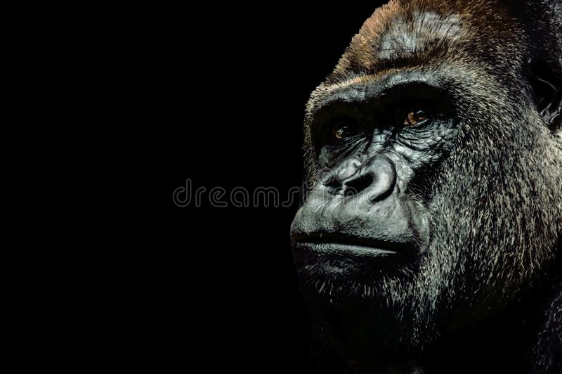 Portrait of a Gorilla royalty free stock image