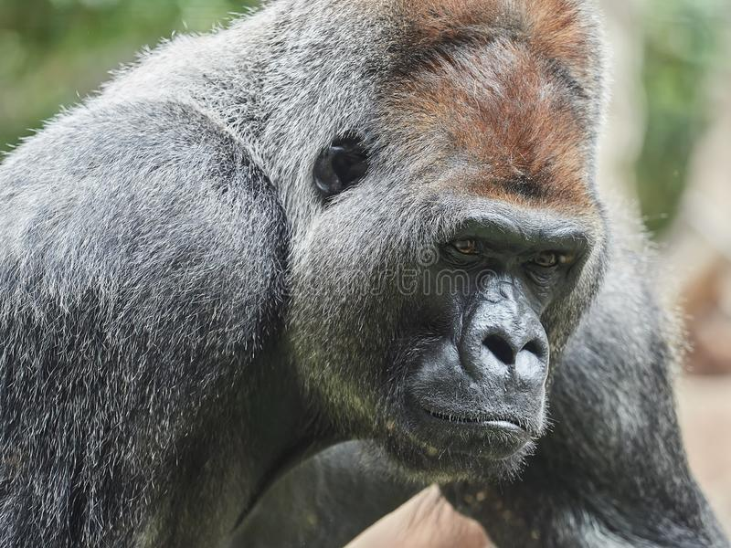 Portrait of a gorilla, taken at Loro Park Loro Parque, Tenerife, Canary Islands, Spain.  royalty free stock image