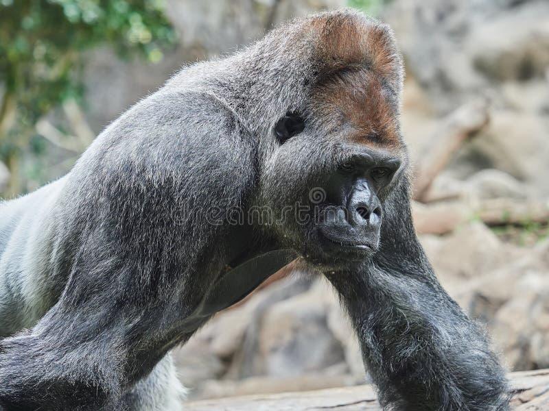 Portrait of a gorilla, taken at Loro Park Loro Parque, Tenerife, Canary Islands, Spain.  stock photography
