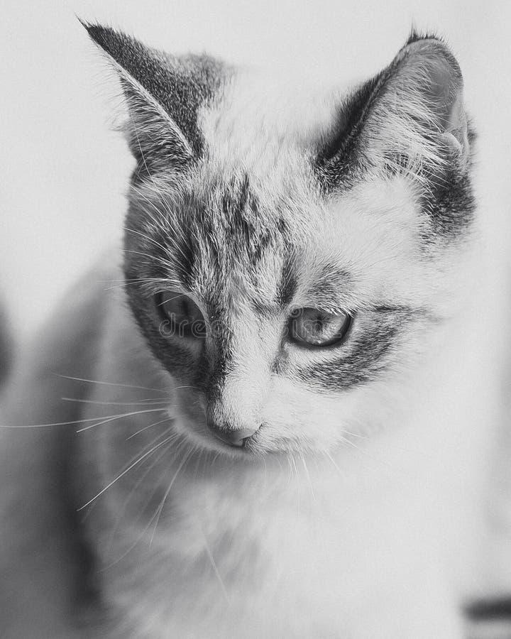 Portrait gracieux du chat blanc avec les oreilles et le masque noirs dans le monochrome images libres de droits