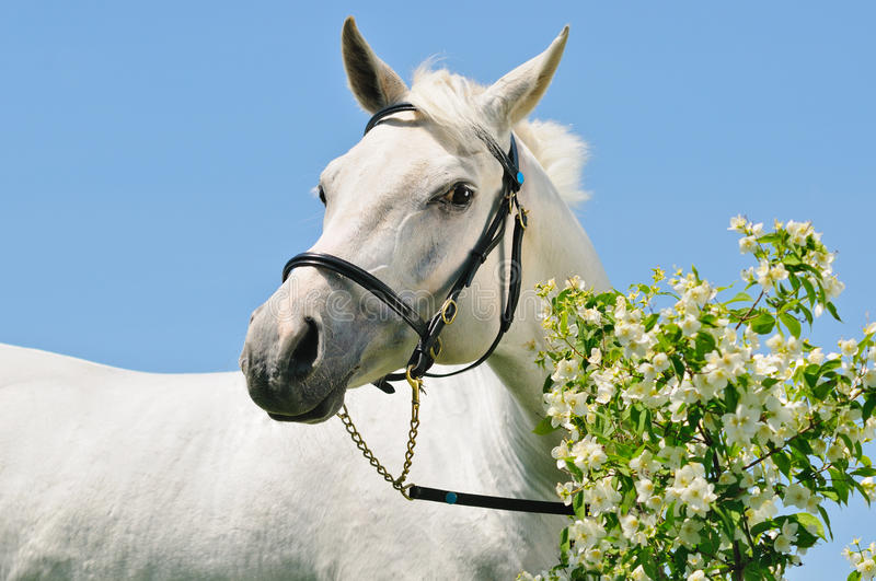 Portrait of gray Arabian horse royalty free stock photos