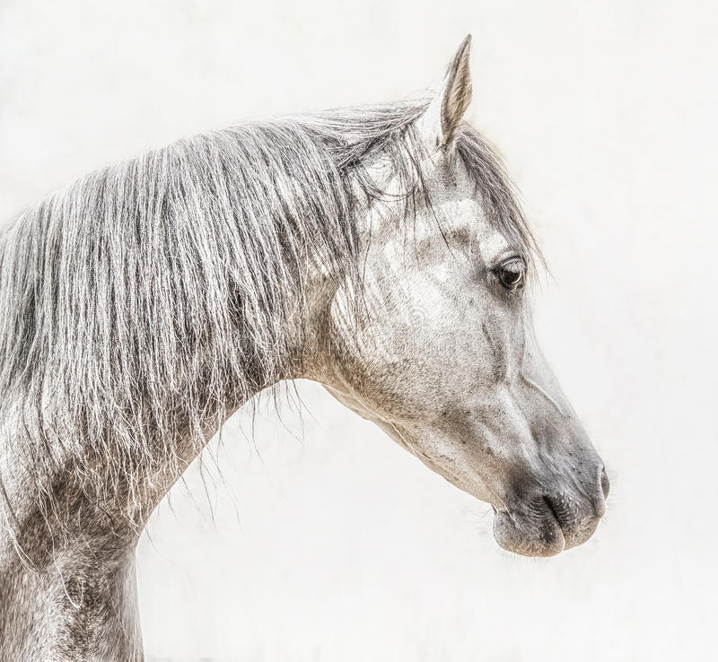 Portrait of gray arabian horse head on light background, Profile. Pictures stock photo