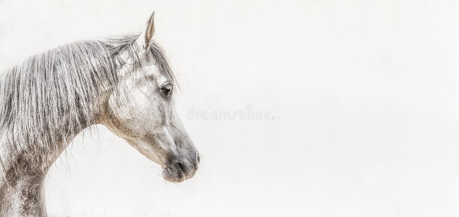 Portrait of gray arabian horse head on light background, Profile Pictures. Banner royalty free stock images