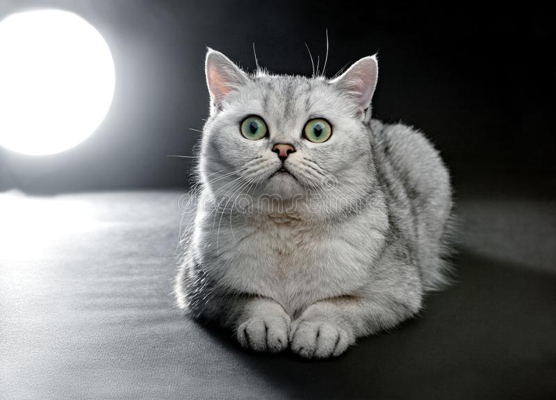 Portrait of Gray British shorthair cat with yellow eyes on a black background royalty free stock photography