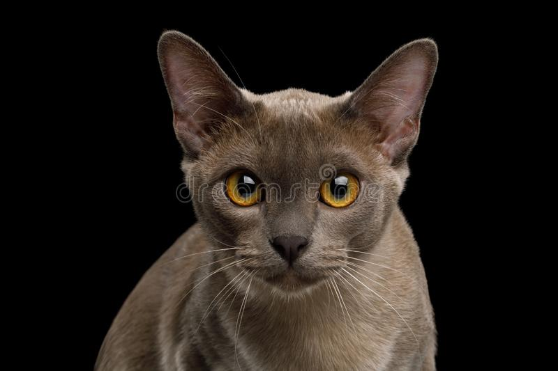 Gray burma cat isolated on black background. Portrait of Gray Burma Cat Stare in Camera isolated on black background, front view stock photo