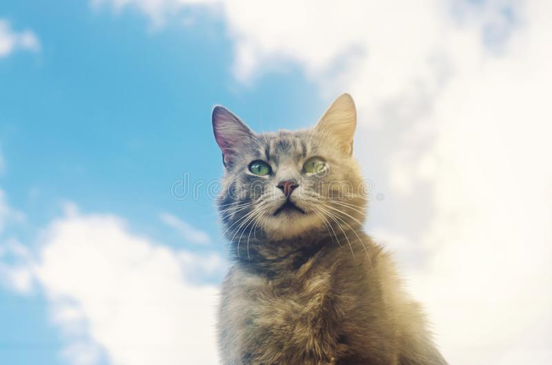 Portrait of a gray cat on blue sky background. Cute pet. Funny animal. Soft selective focus.  royalty free stock photos