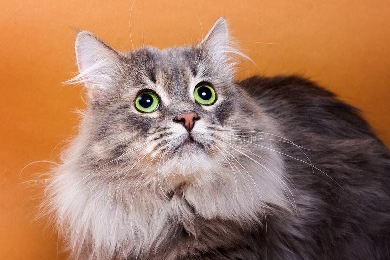 Portrait of a gray cat stock image
