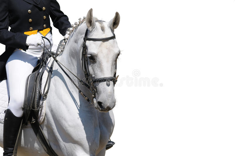 A portrait of gray dressage horse isolated stock image