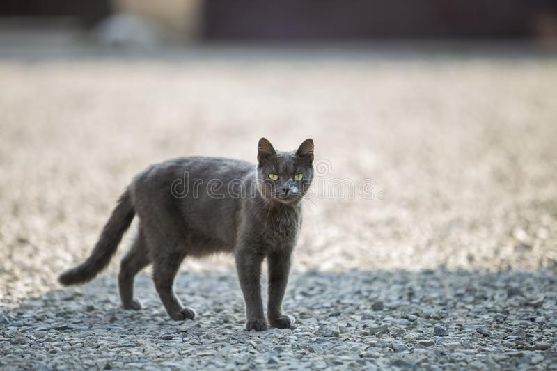 Portrait of gray grown adult big short-haired cat with green eyes standing outdoors on small pebbles looking straight towards. Camera on blurred light sunny stock photo