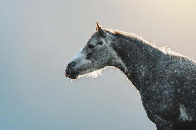 Portrait of a gray horse in apples on a background of mountains royalty free stock photo