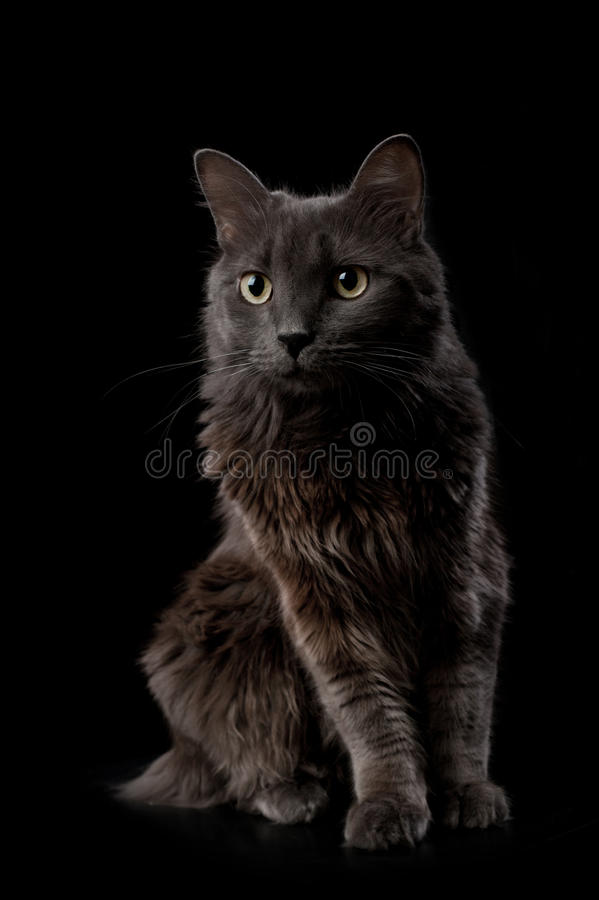 Grey And White Fluffy Cat Breed
