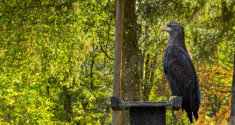 Portrait of a gray sea eagle sitting on a wooden pole, a big raptor from Eurasia. A portrait of a gray sea eagle sitting on a wooden pole, a big raptor from stock image