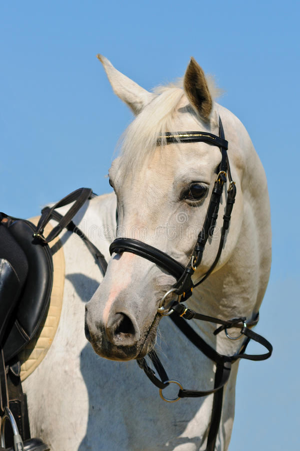 Portrait of gray sportive horse royalty free stock photo