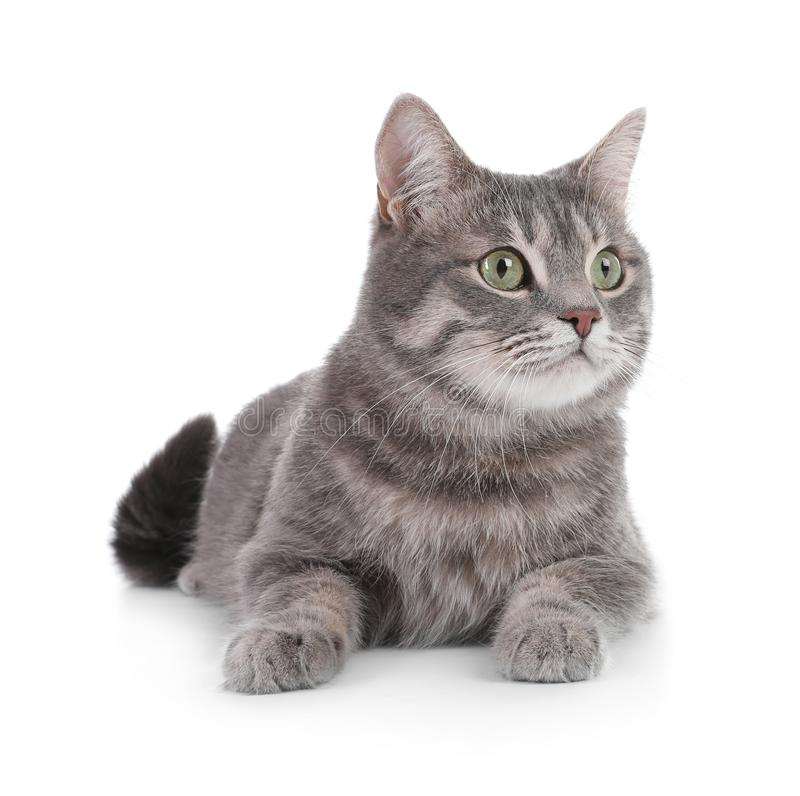 Portrait of gray tabby cat on white background. Lovely pet royalty free stock images