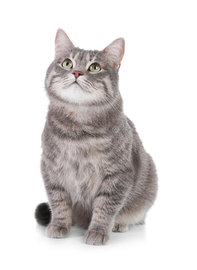 Portrait of gray tabby cat on white background. Lovely pet stock photos