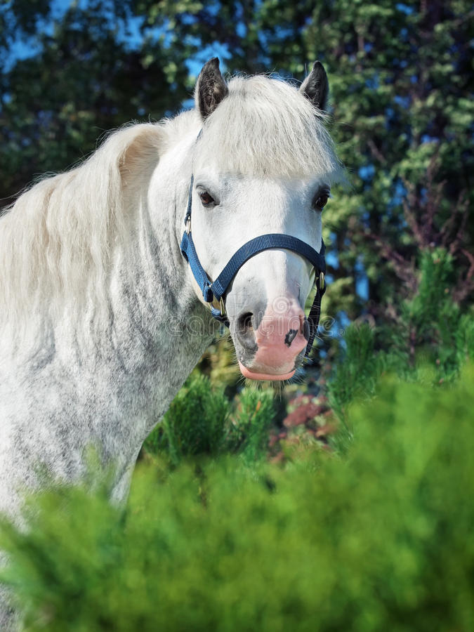 Download Portrait Of  Gray  Welsh Pony Stock Image - Image: 33430441