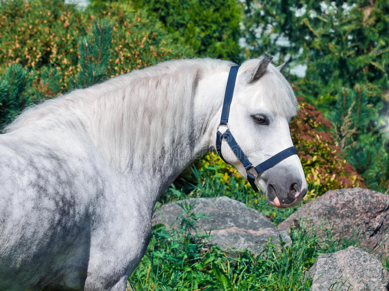 Download Portrait Of  Gray  Welsh Pony. Stock Images - Image: 33430444