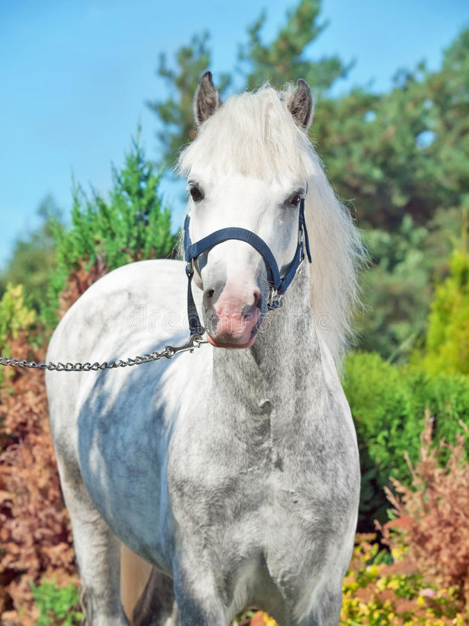 Download Portrait Of  Gray  Welsh Pony Stock Image - Image: 33430461
