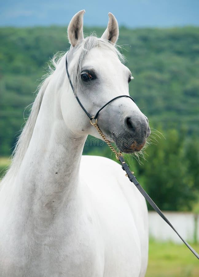 Portrait of gray wonderful purebred arabian stallion stock photo