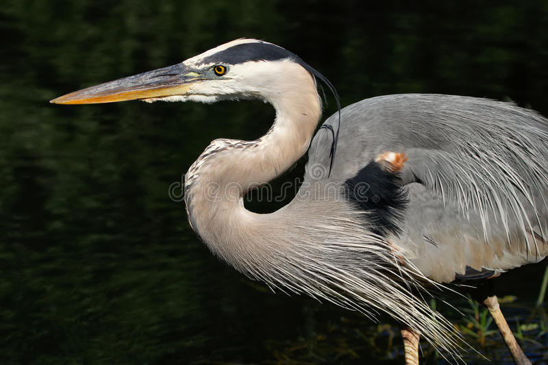 Portrait of Great blue heron stock image