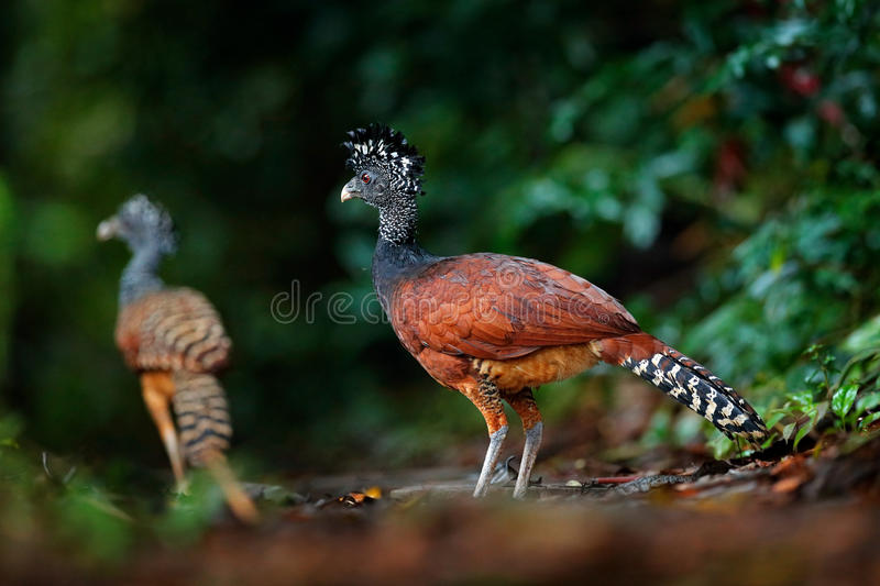 Portrait of Great Curassow, Crax rubra, Costa Rica. Two wild bird in the nature habitat. Curassow in the dark forest. Wildlife sce. Ne from nature royalty free stock photo