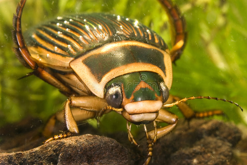 Portrait of great diving beetle royalty free stock photography