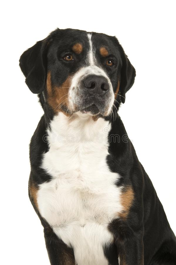 Portrait of a great swiss mountain dog looking over its shoulder. Isolated on a white background stock photography