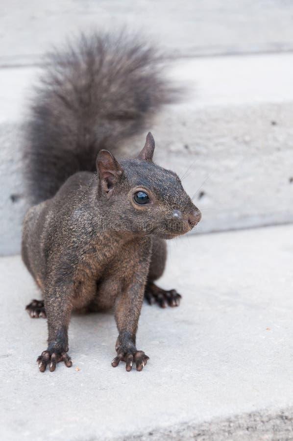 Portrait greay de plan rapproché d'écureuil de ville photographie stock