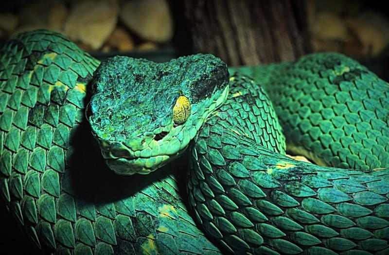Portrait of a green boa constrictor snake. Close up portrait of a green boa constrictor. Animal, beautiful, beauty, blooded, chain, closeup, cold, eyes, fear stock images