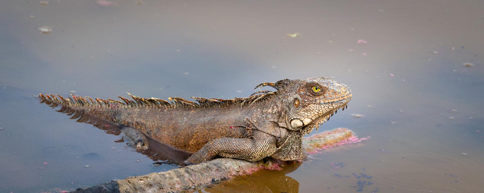 Green iguana in water royalty free stock images