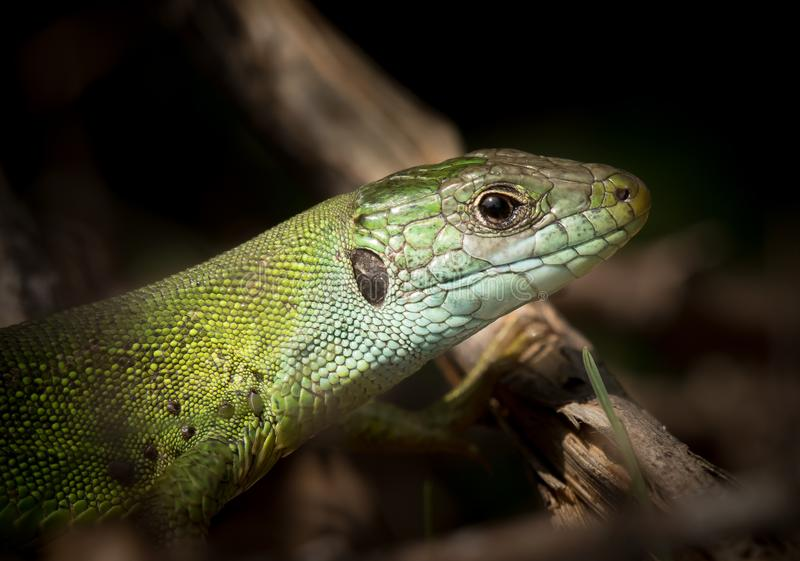 Portrait of a green lizard resting in the sun stock photography