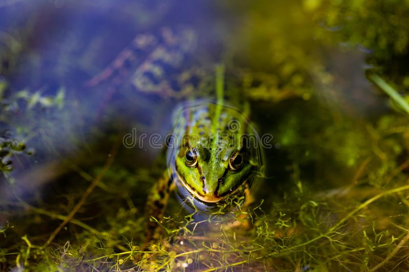 Portrait of green wild frog in the pond. Photography of lively nature and wildlife royalty free stock photos