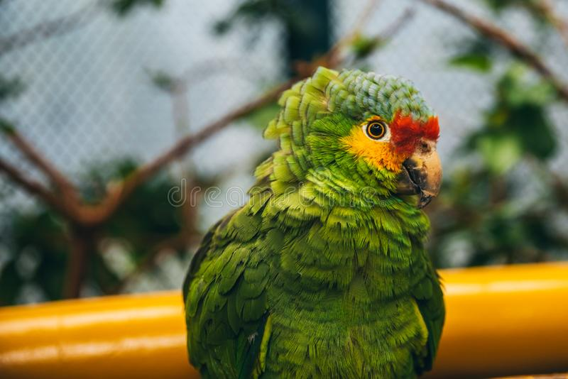 Portrait of a green, yellow and red parrot in an aviary. With vegetation in the background royalty free stock image