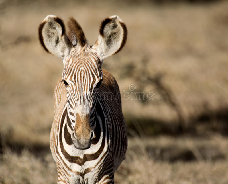 Portrait of a Grevy`s zebra foal royalty free stock photography