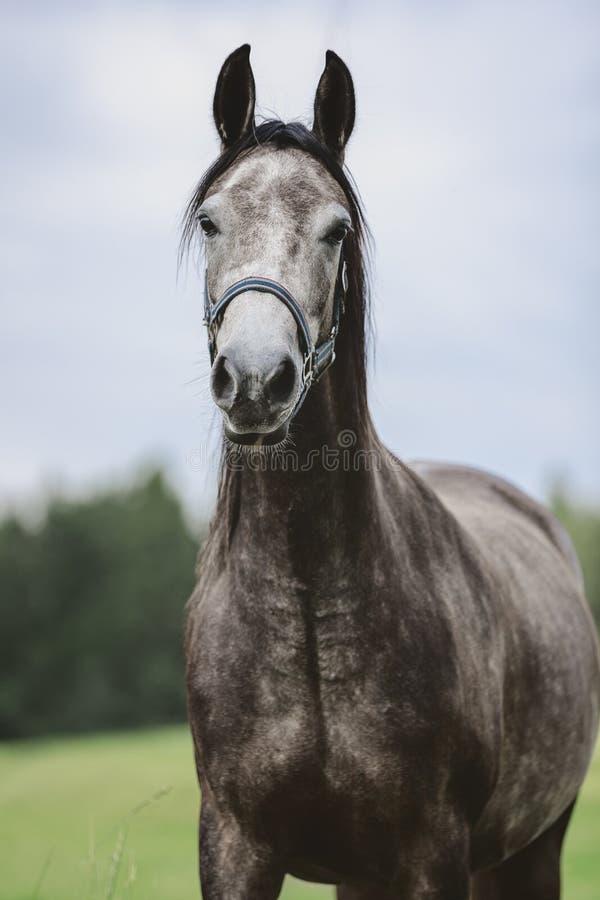 Portrait of grey arabian horse in green field in summer royalty free stock photos