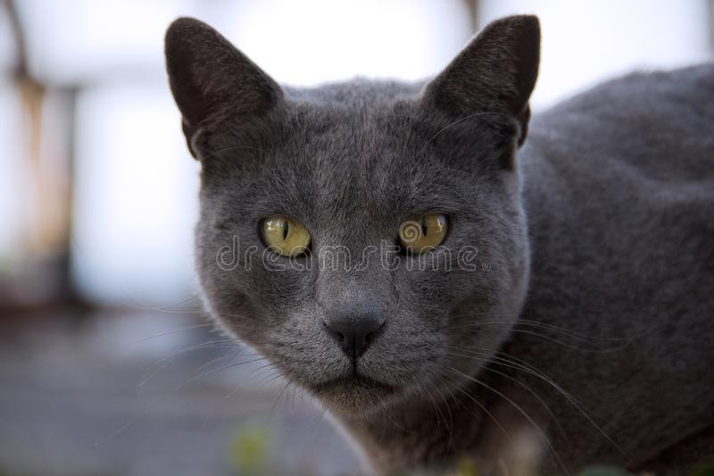 Portrait of a grey cat with yellow eyes as a symbol of power. The grey cat looks straight at the viewer with a magical look stock image